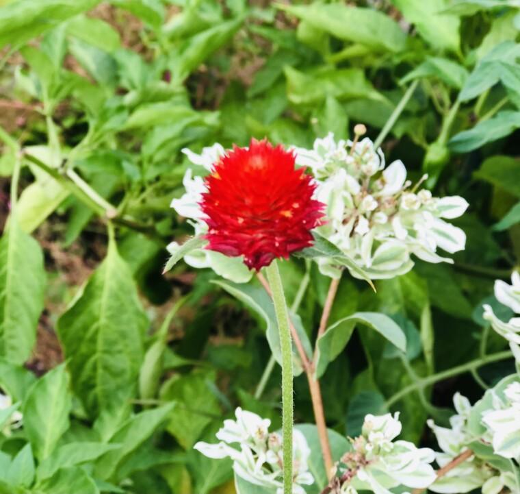 藤永慶子/これは赤い花?かしら